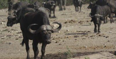cape buffalo at waterhole as other cape buffalo walk up