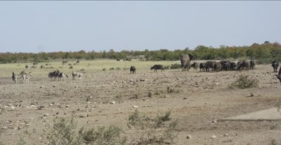 cape buffalo, elephants, + zebra near waterhole