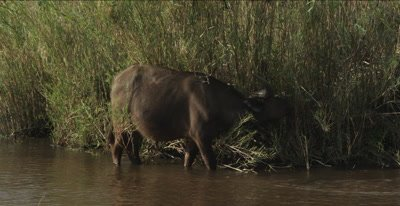 cape buffalo eating cane in water