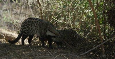 African civet walking, hunting