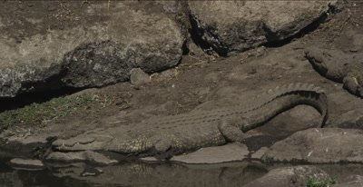 2 crocodiles sunning