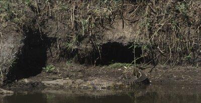 crocodile sunning