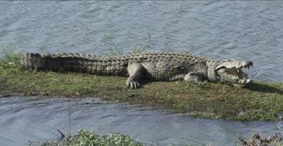 crocodile warming itself - mouth open