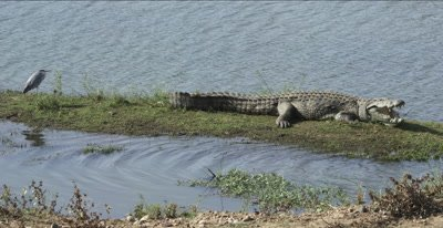 crocodile warming itself with grey heron nearby - mouth open