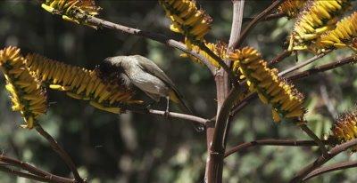 dark-capped bulbul getting nectar from aloe