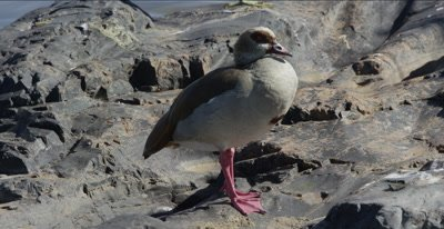 Egyptian goose standing by Oliphants River