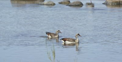 Egyptian geese swimming in the Oliphants River