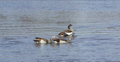 Egyptian geese swimming in the Oliphants River, 2 flapping