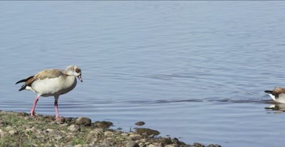 Egyptian geese walking and swimming in the Oliphants River