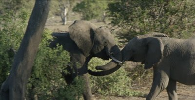 2 teenage male elephants play fighting but looks more serious