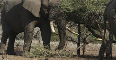 elephants large one eating acacia