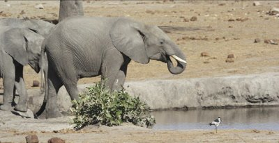 teenage elephant getting a drink