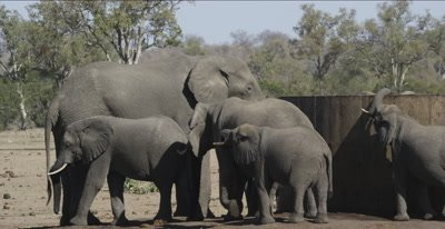 elephants huge male with adult females around water tank