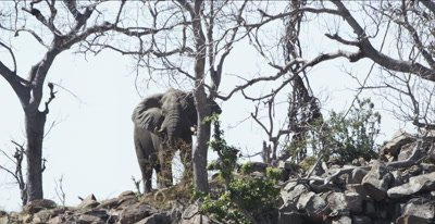 elephant as scenery closer, flapping ears to cool off