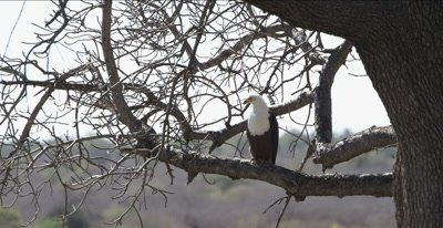 fish eagle sitting in tree, preening and scratching