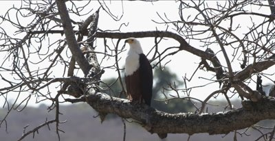 fish eagle sitting in tree