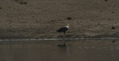 fish eagle standing on fish by water