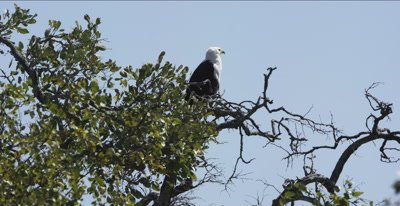 fish eagle watching from top of tree