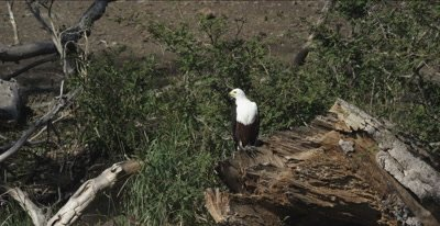 fish eagle watching from large piece of broken tree