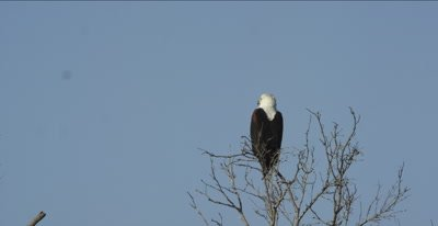 fish eagle sitting and watching in tree