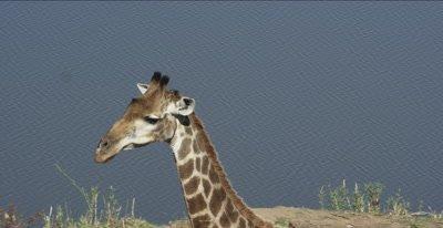 giraffe walking by the Letaba River