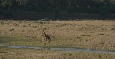 2 giraffe by Letaba River, wide
