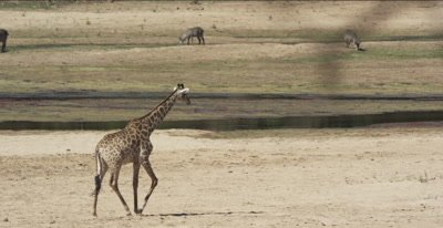 giraffe walking to get a drink