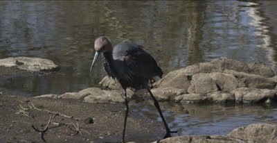goliath heron hunting