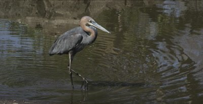 goliath heron hunting, being harassed by blacksmith plover trying to protect its chicks