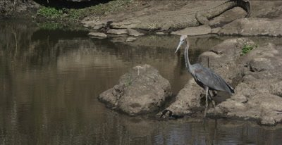 goliath heron with crocodile in background