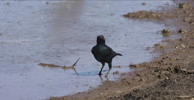 greater blue-eared starling picking up bugs on edge of lake