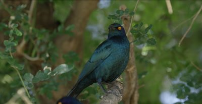 greater blue-eared starling looking around for the next tidbit to steal
