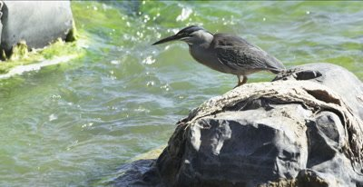 green-backed (striated) heron fishing on the Oliphants River