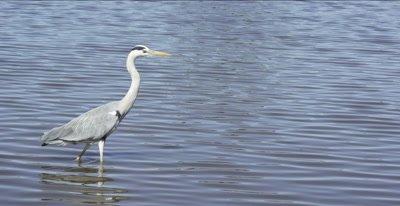 grey heron walking in lake
