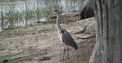 grey heron walking a little