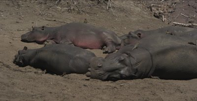 hippos and red-billed oxpeckers