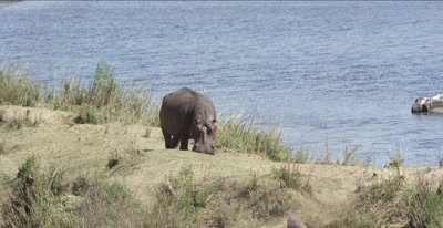 hippo standing out of water with chin on ground, sick
