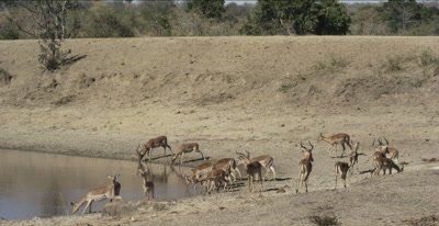 a herd of impala drinking looking at crocodile wide