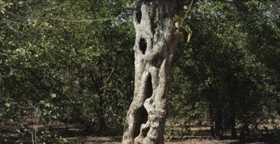 knarled strangler fig tree trunk