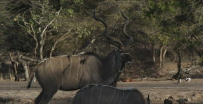 male kudu with oxpeckers watching before drinking, then starts to chicken out, there are 2 male lions sleeping nearby
