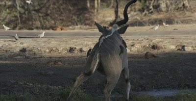 """1 horned kudu with lots of oxpeckers leaves waterhole and """"crosses horns"""" with other male"""