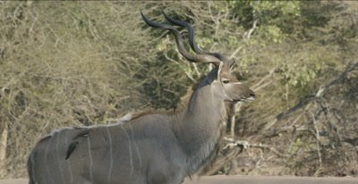 male kudu, trying to decide whether to get a drink as oxpeckers comb away, there are 2 male lions sleeping nearby