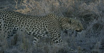 female leopard stalking impala, stops to watch impala's reaction