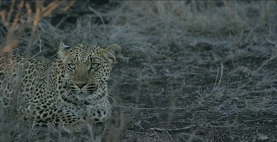 female leopard stalking impala, impala snort and she knows she has been seen