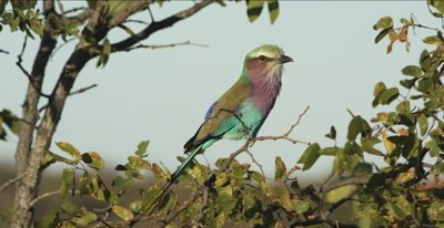 lilac-breasted roller sitting in a mopani tree looking for a bug, calling