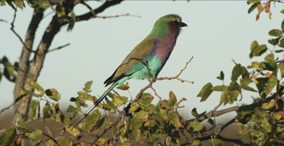 lilac-breasted roller sitting in a mopani tree looking for a bug