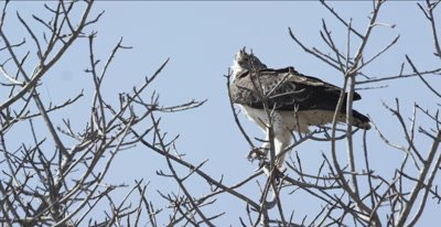 immature martial eagle standing in tree watching