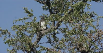 martial eagle sitting in tree, full crop