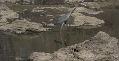 goliath heron and water monitor goliath heron trying to sneak up on  water monitor