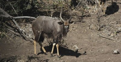 male nyala and crocodile walking and looking down at crocodile